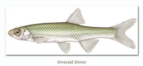 emeraldshiner
