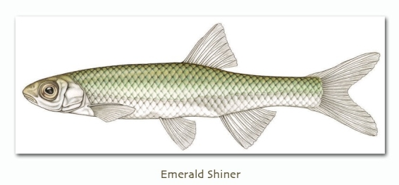 emeraldshiner