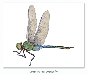 greendarner