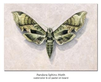 pandorasphinxmoth