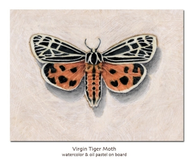 virgintigermoth