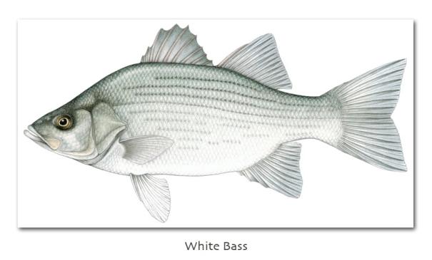 whitebass